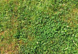 Weed Or Flower Pictures - clover identification is clover a weed u0026 what does it look like