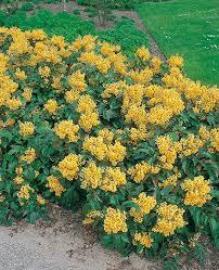 arbuste feuillage pourpre persistant mahonia aquifolium u0027apollo u0027 mahonia à feuilles de houx arbuste