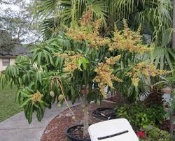 best condo mango for container growing the carrie mango tree