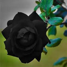 Flower Rose Black Rose Flower Rose Flower Divine Flowers Hosur Id
