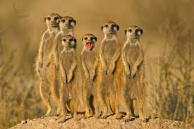 10 fascinating furry facts about meerkats mental floss