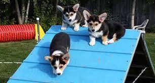 australian shepherd vs corgi pembroke welsh corgi dog breed information american kennel club