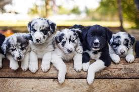 australian shepherd vs husky nature vs nurture is your dog u0027s personality learned or genetic