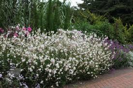 buy gaura gaura lindheimeri delivery by crocus co uk garden
