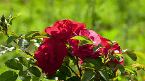 this is a beautiful natural video of rose flowers in the garden