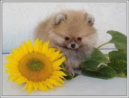 dogs sunflowers sunflower precious soul pomeranian yellow adore