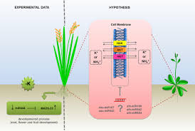 frontiers npk macronutrients and microrna homeostasis plant