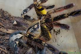 fringed ornamental tarantula pics 8 fringed ornamental tarantula