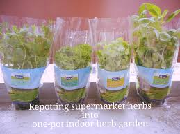 how to repot supermarket herbs into one pot indoor herb garden