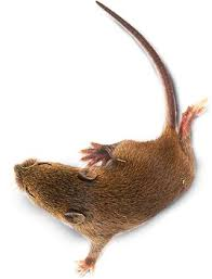 Are Mice Blind Mice Nests Mice Habitat Dk Find Out