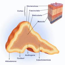 Pyramids Of The Medulla Your Suprarenal Glands Are Little Pyramid Shaped Structures That
