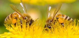 what bees need key honey bee facts friends of the honey bee