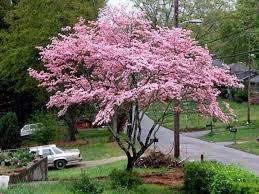 best 25 pink dogwood ideas on pink flowering trees