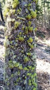 is that moss killing my tree gallatin resources