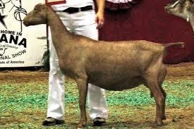 american lamancha goat wikipedia