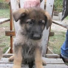 affenpinscher a vendre quebec adopt local dogs u0026 puppies in edmonton pets kijiji classifieds