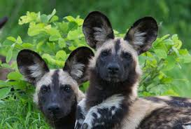 safari ltd african wild dog 10 best places to see wild dogs in south africa