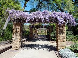 Wisteria Home Decor by Various Vines Outdoor Decorations Artdreamshome Artdreamshome