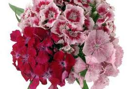 sweet william flowers types of sweet william flowers home guides sf gate