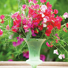 Sweet Pea Images Flower - browse fragrant colourful sweet pea seedlings sarah raven