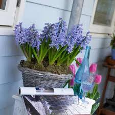 Hyacinth Flower Hyacinth Flower Bulbs Garden Plants U0026 Flowers The Home Depot