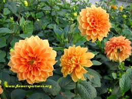 dahlias flowers orange dahlia pictures pictures of orange dahlia flowers