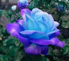 blue and purple flowers 981 best roses images on pink roses beautiful flowers