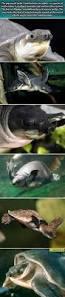 96 best turtles images on pinterest animals sea turtles and