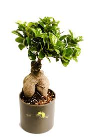 buy nurturing green ficus 2 year old bonsai plant online at low