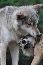 communication international wolf center
