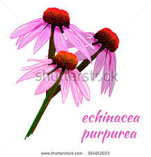 echinacea flower echinacea flower stock images royalty free images vectors
