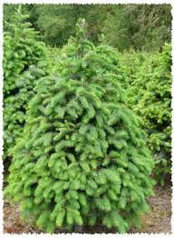 douglas fir tree douglas fir fresh christmas trees