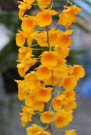 dendrobium lindleyipick an orchid