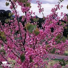 cercis judas tree perth wa garden centre