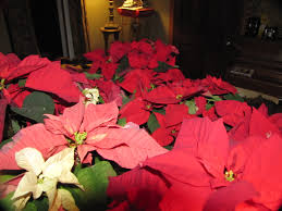 natural dyeing u2013 poinsettia leaves a polish granddaughter