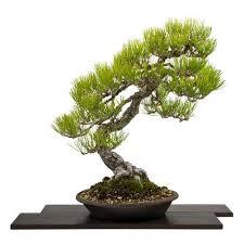 imported japanese trees bonsai tree pty ltd