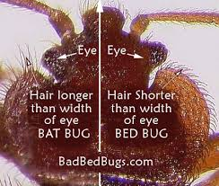 How Often Do Bed Bugs Reproduce Where Did Bedbugs Come From Why Evolution Is True