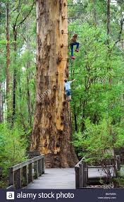 Gloucester Tree In The Gloucester National Park Pemberton