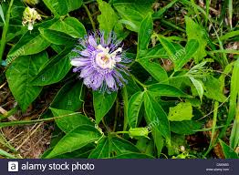 native plants passionflower vine grows passion flower wild apricot vine passiflora incarnata stock