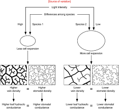 evolution in xylem and stomatal function and their interaction
