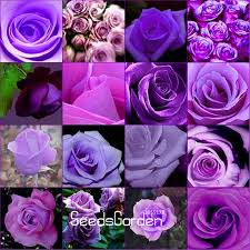 purple roses for sale popular purple for sale buy cheap purple for sale lots