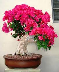 best 25 bougainvillea bonsai ideas on bonsai trees