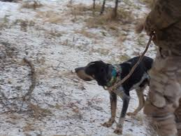 bluetick coonhound kennels in ga bluetick 1 kennels bluetick1kennels www bluetick1kennels com