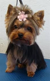 female yorkie haircuts styles yorkshire terrier haircut styles find hairstyle