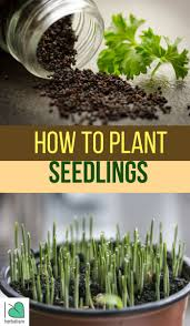 Herbs Indoors by 281 Best Seeds Seedlings Images On Pinterest Vegetable Garden
