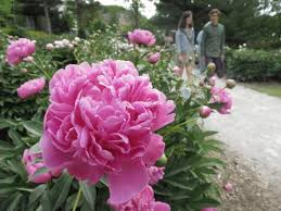 peonies for sale now the peony garden