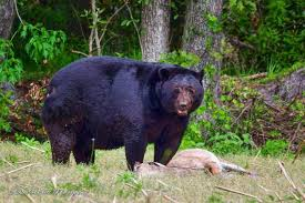Bears Montana Hunting And Fishing - bears montana hunting and fishing
