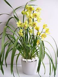 Orchid Cut Flowers - cymbidium orchid care instructions orchid care