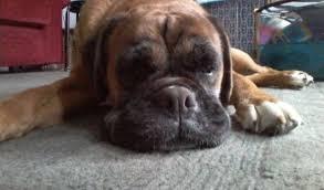 boxer dog rescue sophie u2013 10 year old female boxer dog for adoption