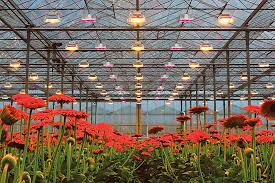 horticultural led grow lights plessey s introduces hyperion family high power horticultural led